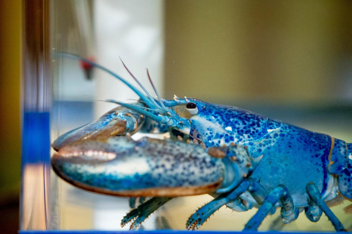 Blue lobster comes to St. Louis, via Cape Cod, to honor Blues