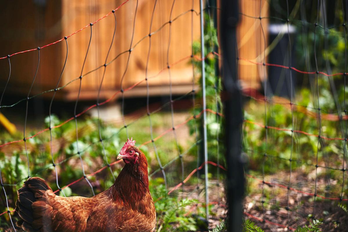 Hawkins chicken