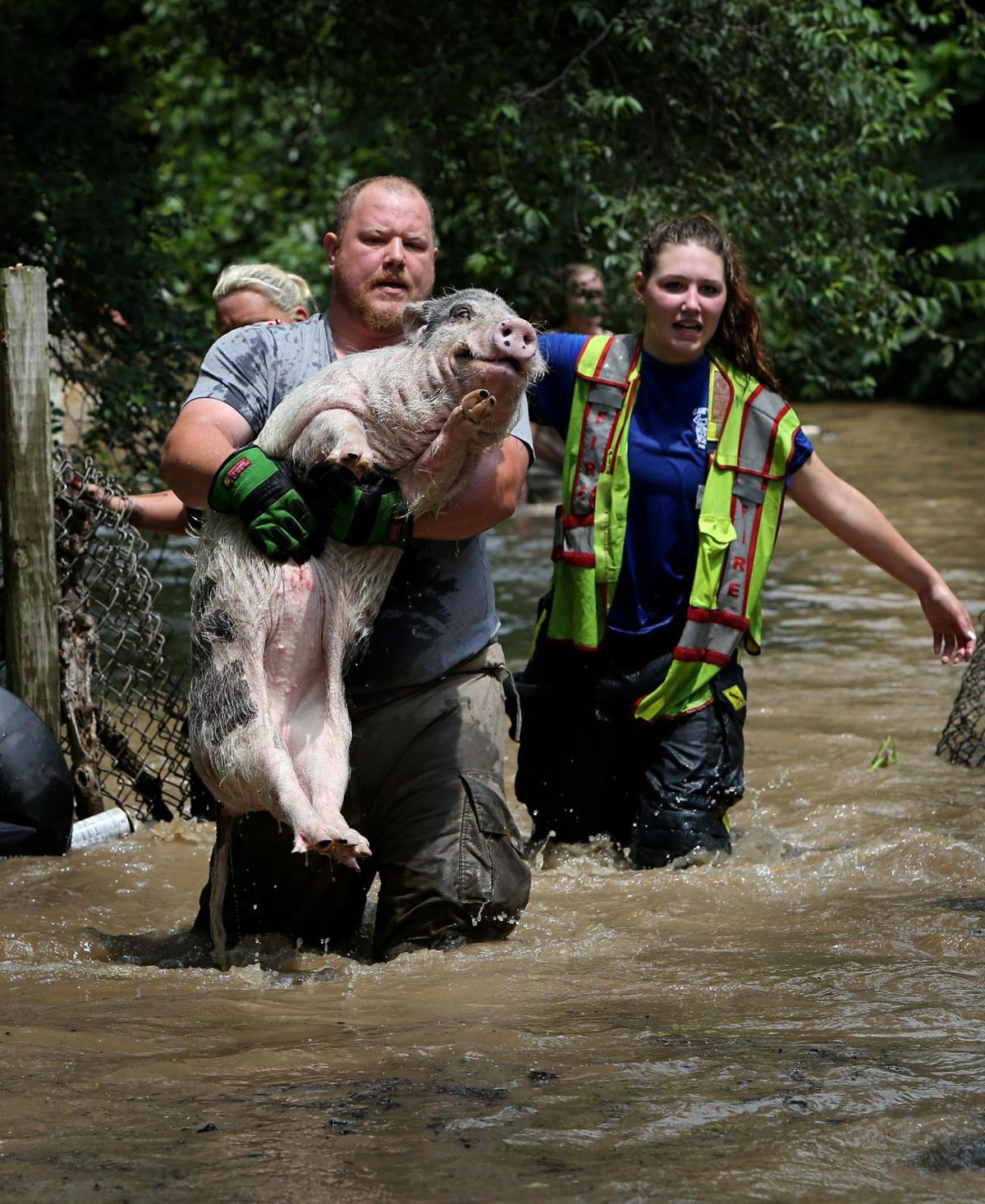 Potbellied pigs rescued from floodwaters