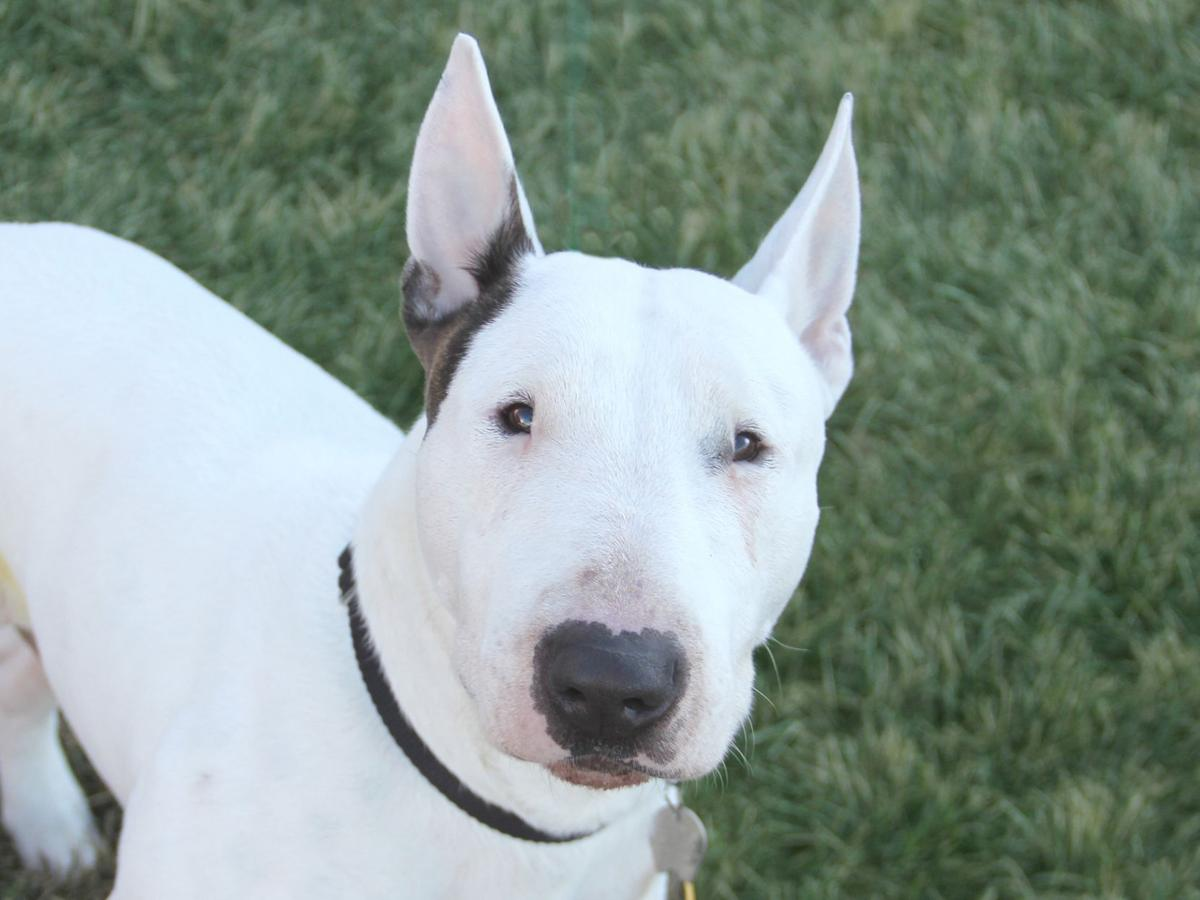 Pets Of The Week Bull Terrier Parson Russell Terrier Mix And Hound
