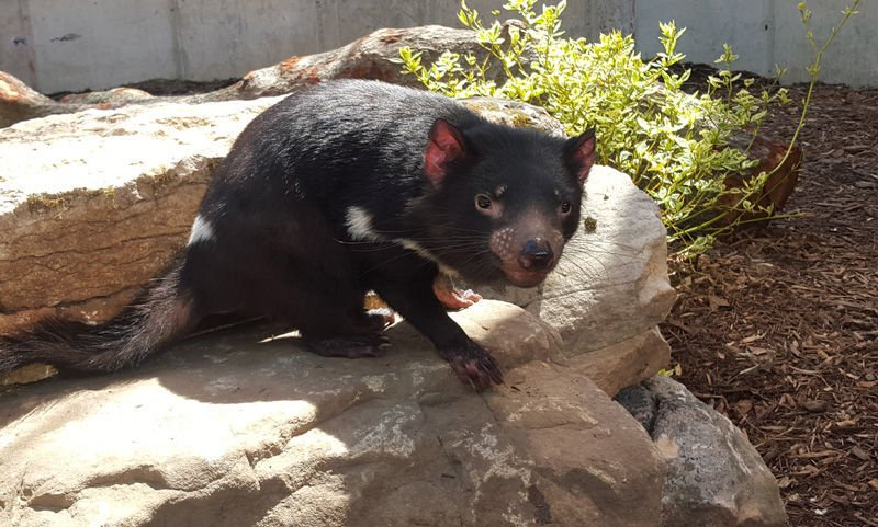 Tasmanian devils new to the St. Louis Zoo