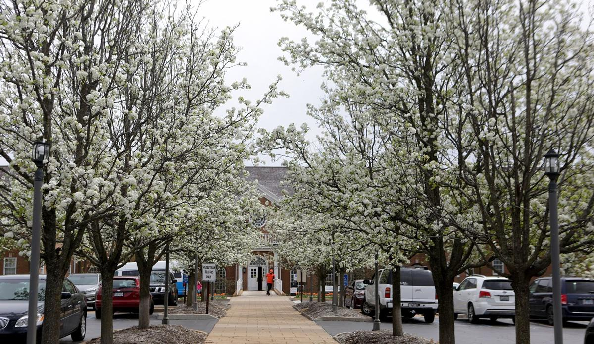 Pear trees in parking lot of medical office building at 522 N. New Ballas Rd. in Creve Coeur