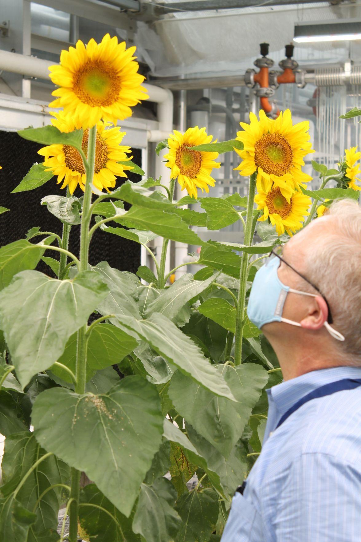 Edison Agrosciences sunflowers
