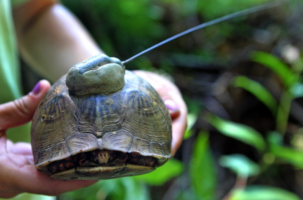 Box Turtles In St Louis Area Getting Health Checkup Education
