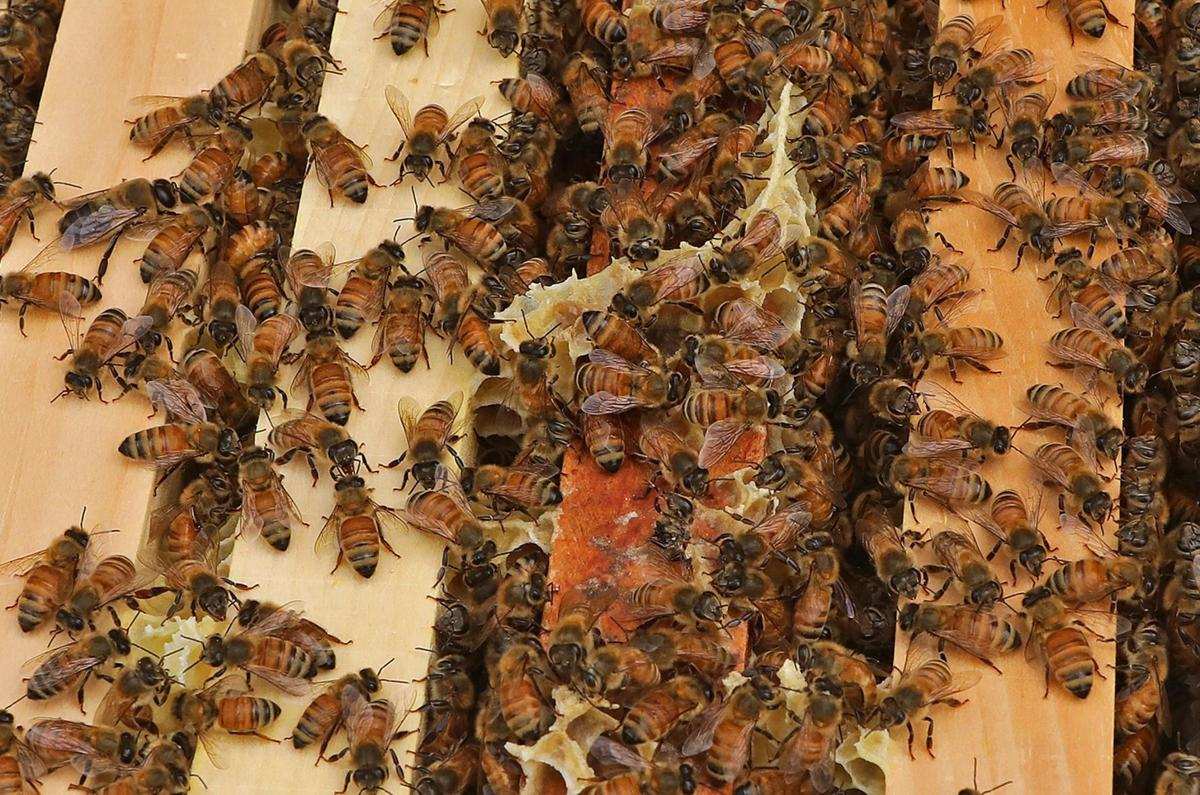Bees are now guests at the Chase Park Plaza Hotel