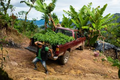 Falling coffee prices drive Guatemalan migration to the United States