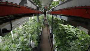 More Missourians approved for medical marijuana use than predicted
