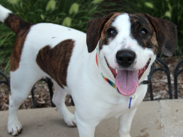 Pet Of The Week Abby A Beagle And Jack Russell Terrier Mix Pets