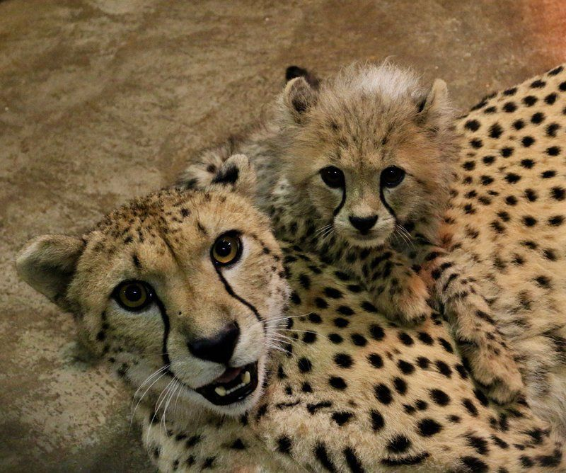 Cheetah cubs at 12 weeks old