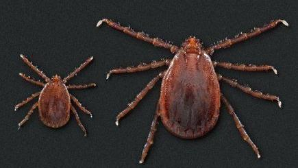 Tick species that can produce 1,000 offspring without mating found in Missouri for first time
