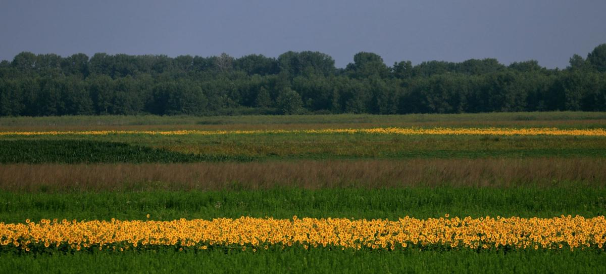 Sunflowers blooming at Columbia Bottom Conservation Area in North St. Louis County.