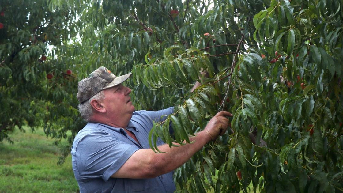 Missouri peach crop