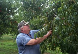 'Semua orang terfokus pada percobaan ini': Kasus lubang Missouri persik petani terhadap ag raksasa