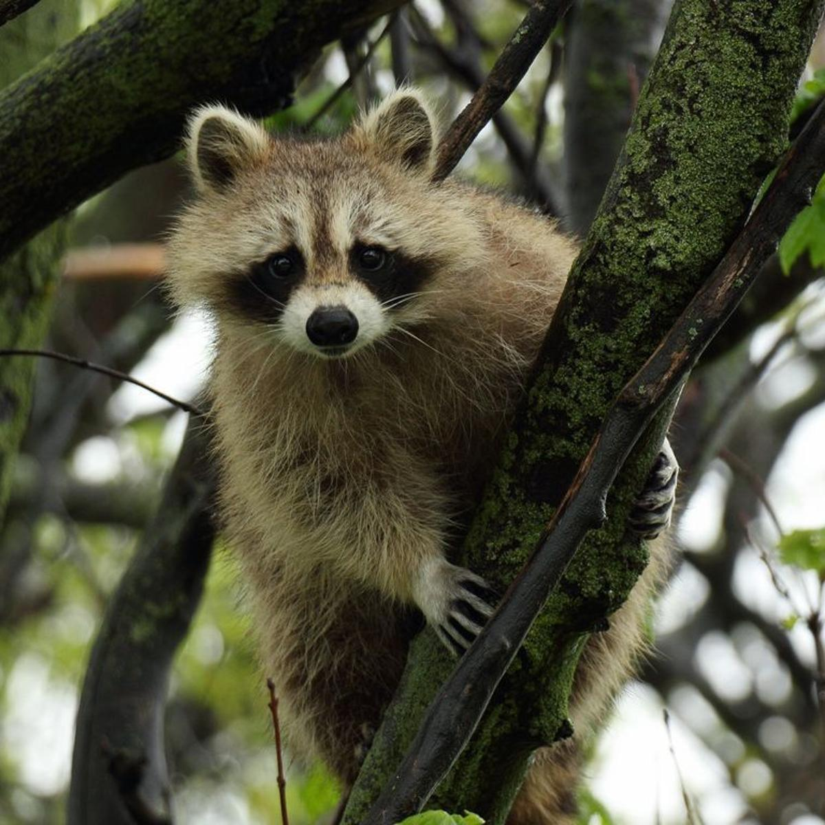 It's winter, so watch out for falling raccoons | Pets ... on raccoon in bedroom, raccoon in bed, raccoon in kitchen, raccoon in attic, raccoon in garage, raccoon in paint, raccoon in space, raccoon in room, raccoon in box, raccoon in office, raccoon in sink, raccoon in building, raccoon in water, raccoon in bathroom, raccoon in log, raccoon home, raccoon in bath, raccoon in wall, raccoon in the floor, raccoon in chair,