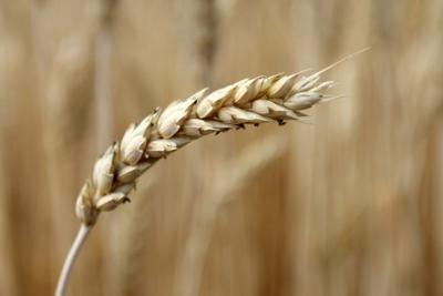 Washington state farmers sue Monsanto over GMO wheat