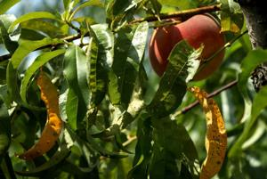 Jury berät in Missouri Pfirsich-Züchter-Klage gegen Bayer, BASF