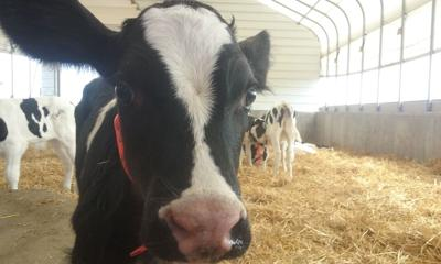 Neman: Comfortable cows make happy milk | Food and cooking