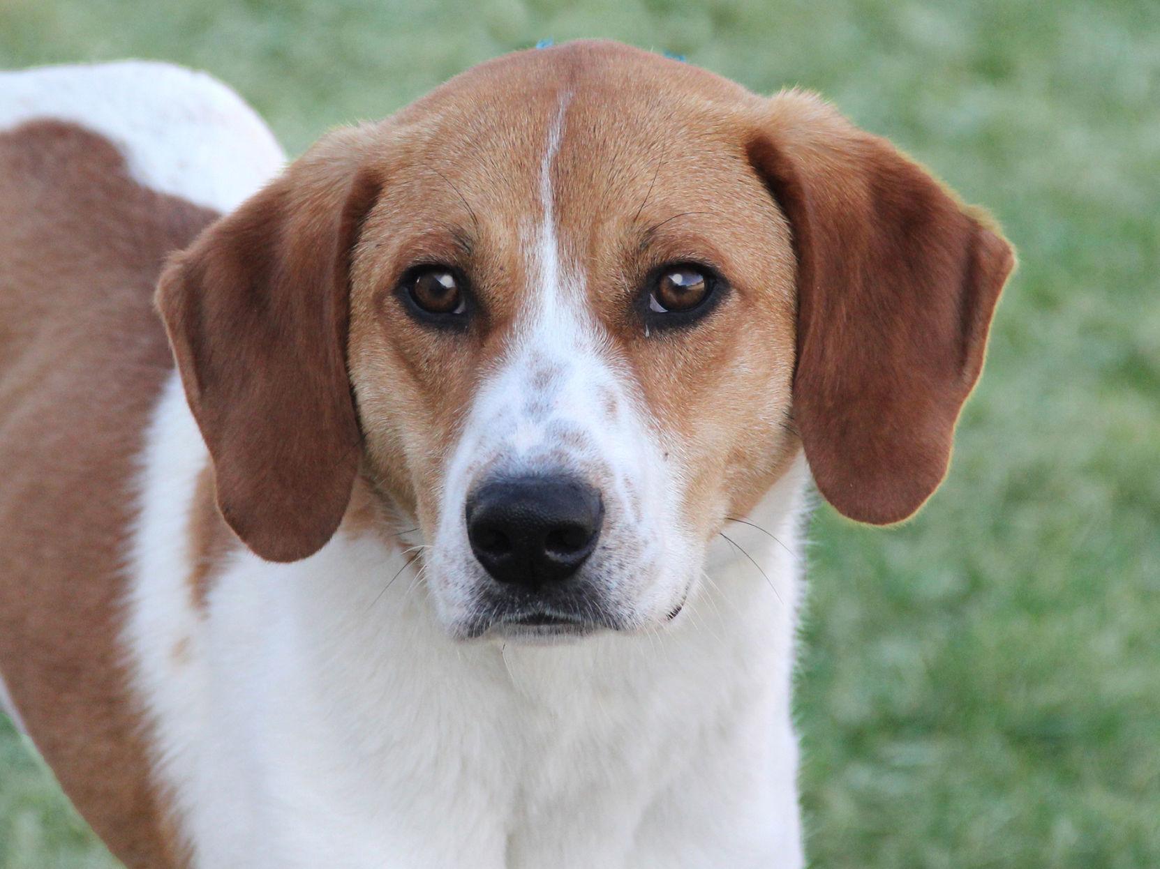 american foxhound labrador retriever mix wwwtopsimagescom