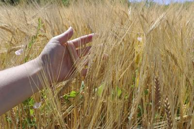 Regenerative agriculture. Rye crop field. Harvest on the farm. Stems with seeds for grain bread in female hands. Yellow golden summer landscape.