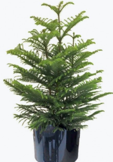 Can bunched pine trees be separated before repotting Home and