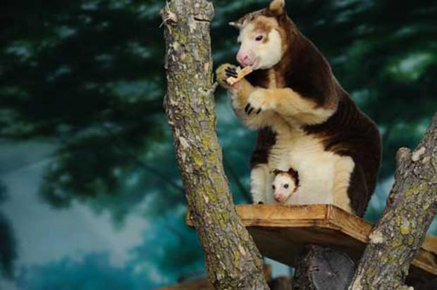 Tree Kangaroo joey : News