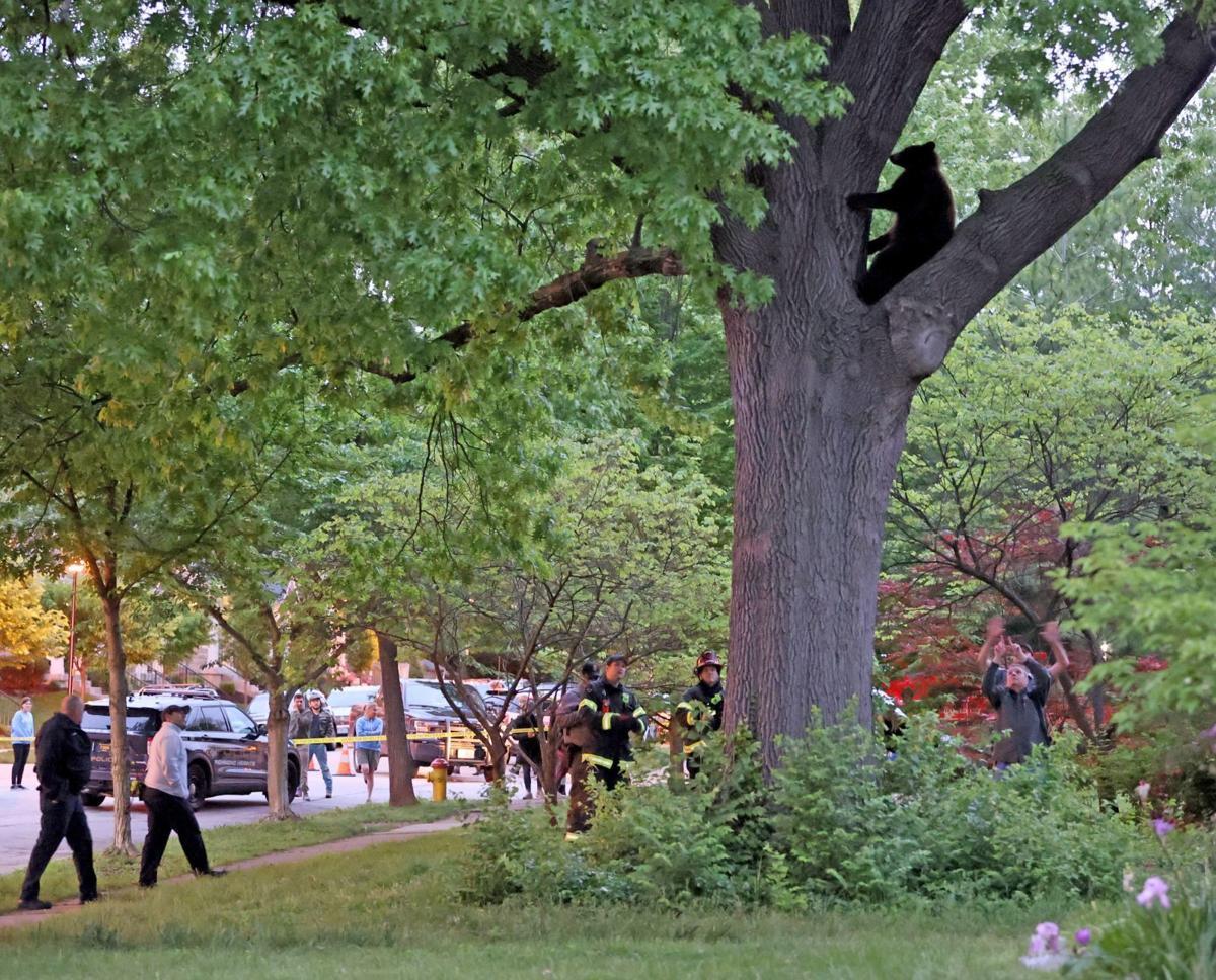 Bear in Tree in Richmond Heights