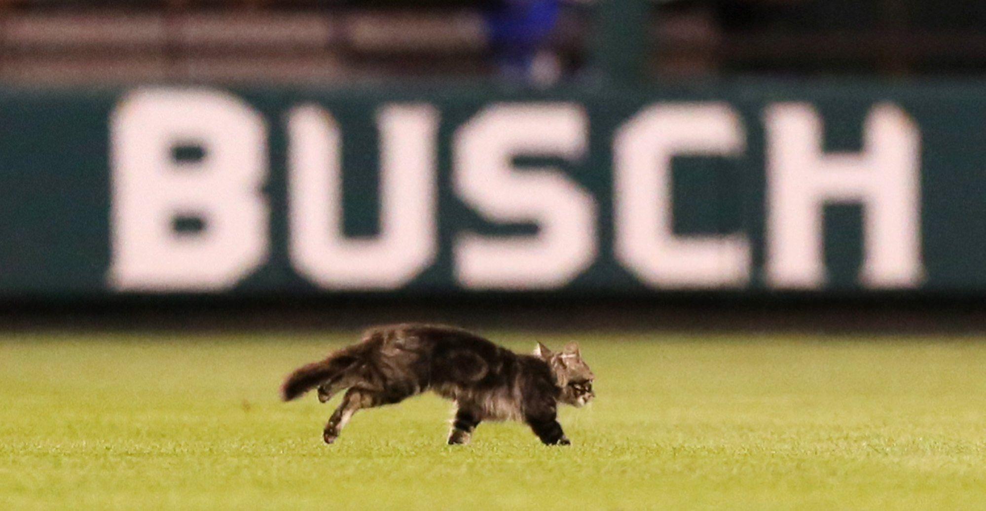 Cat crashes Cardinals, Royals MLB game