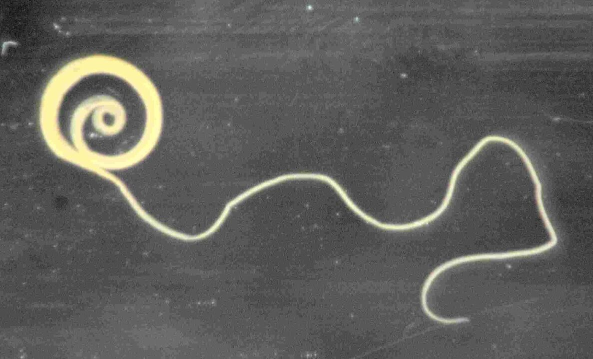 A parasitic worm