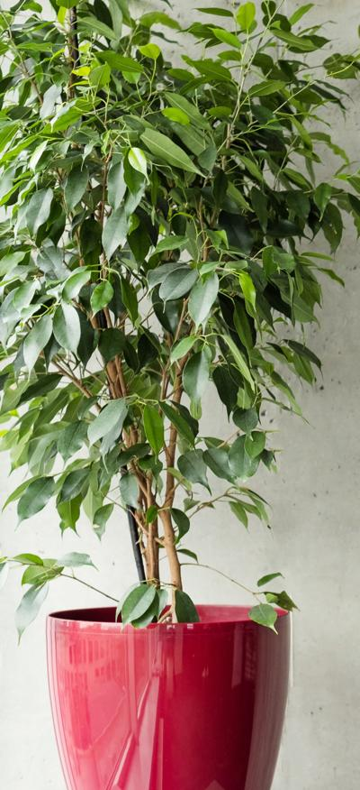 ficus red pot grey concrete wall background empty