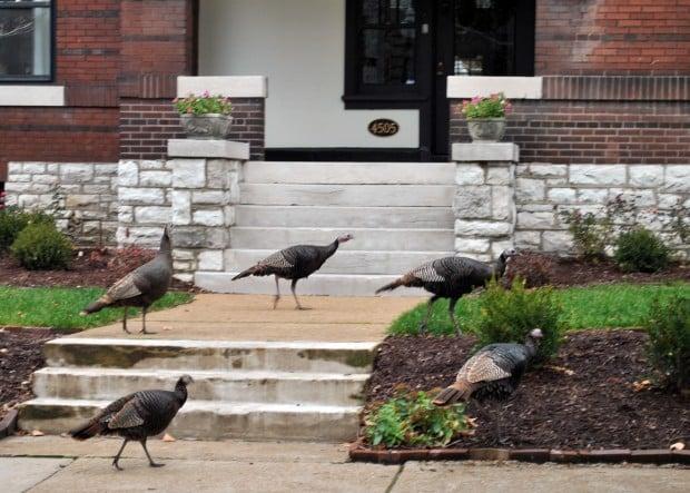 Central West End Turkeys