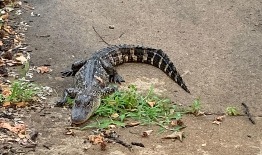 Alligator found in St. Louis
