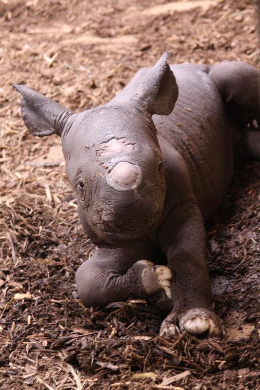 pictures-of-a-black-rhino-ebony-bikini-suits-videos