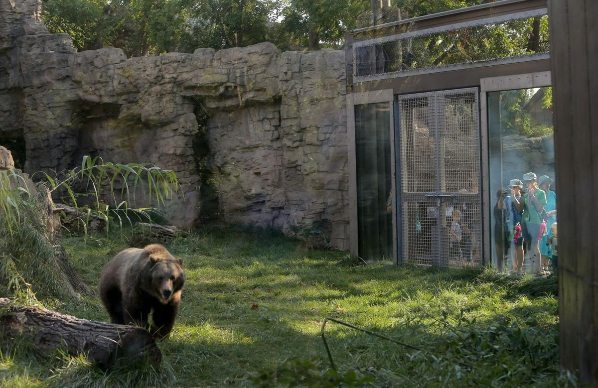 Watch grizzly bears huckleberry and finley frolic in their for Newspace st louis