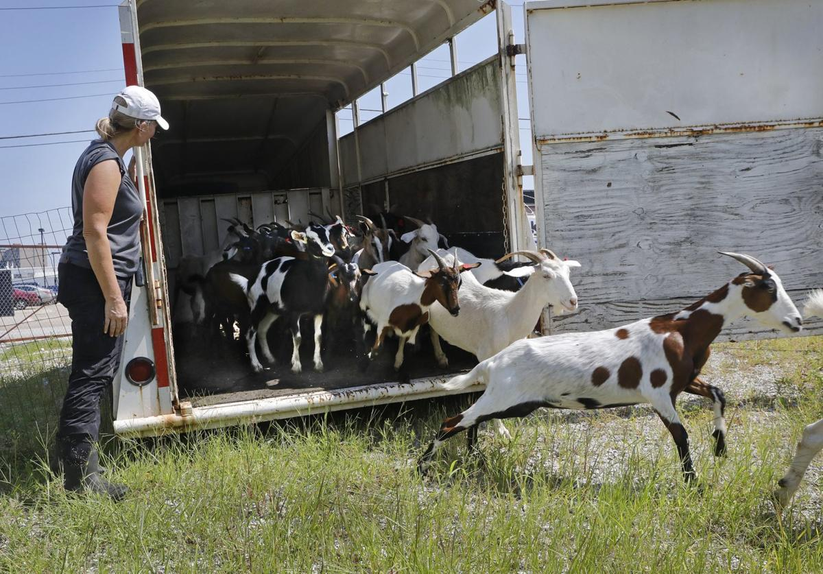 Goats make quick work of urban clearing