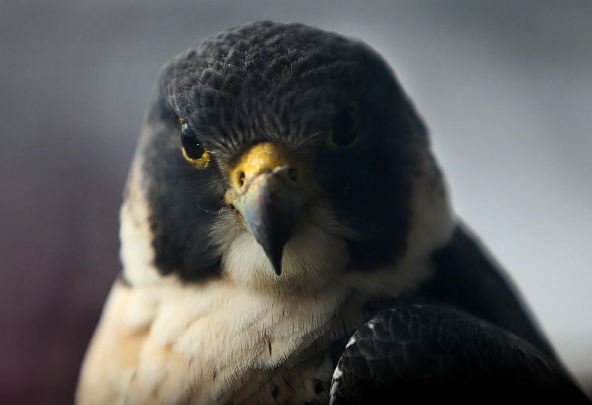 Peregrine falcons nesting at One Bell Center