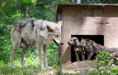 Mexican Gray Wolves at Endangered Wolf Center