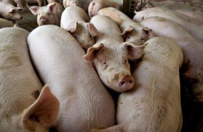 General Views Of Pig Farming At A Lehmann Bros. Farm LLC