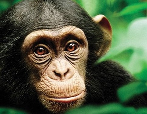 Review Chimpanzee Delivers Compelling Monkey Business