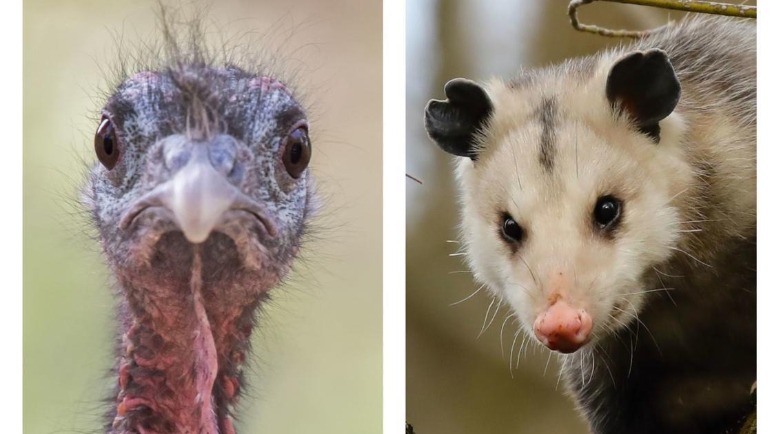 Nicht mehr Puten oder possums wie die USA versucht, neu zu definieren
