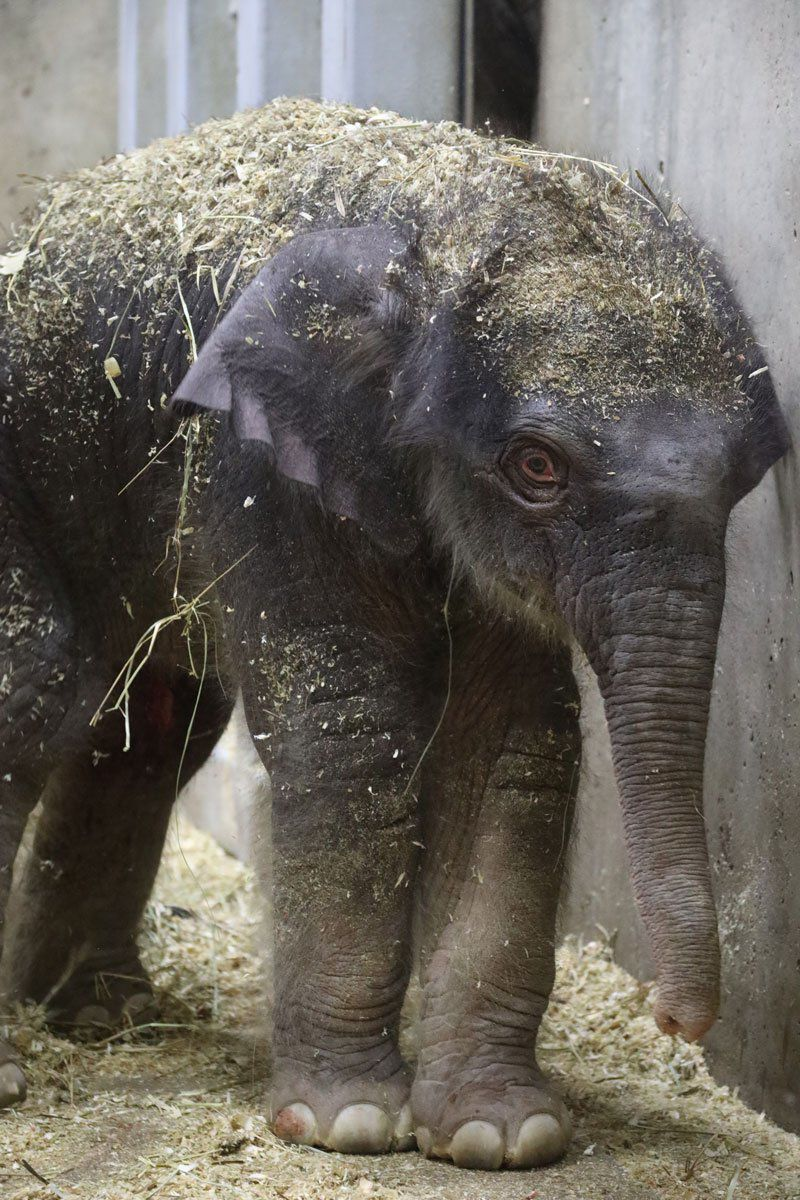 Baby elephant born at St. Louis Zoo