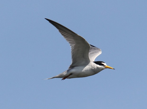 Corp of Engineers trying to save the least tern