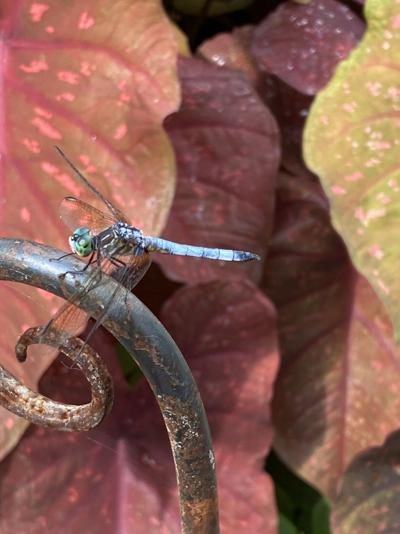 Adult male blue dasher dragonfly
