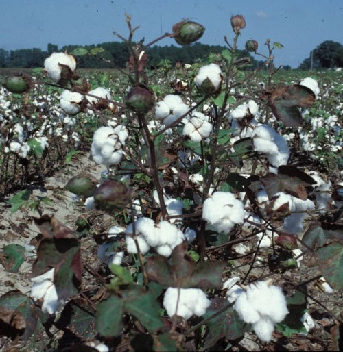 Cotton planting on the rise in Missouri Metro stltodaycom
