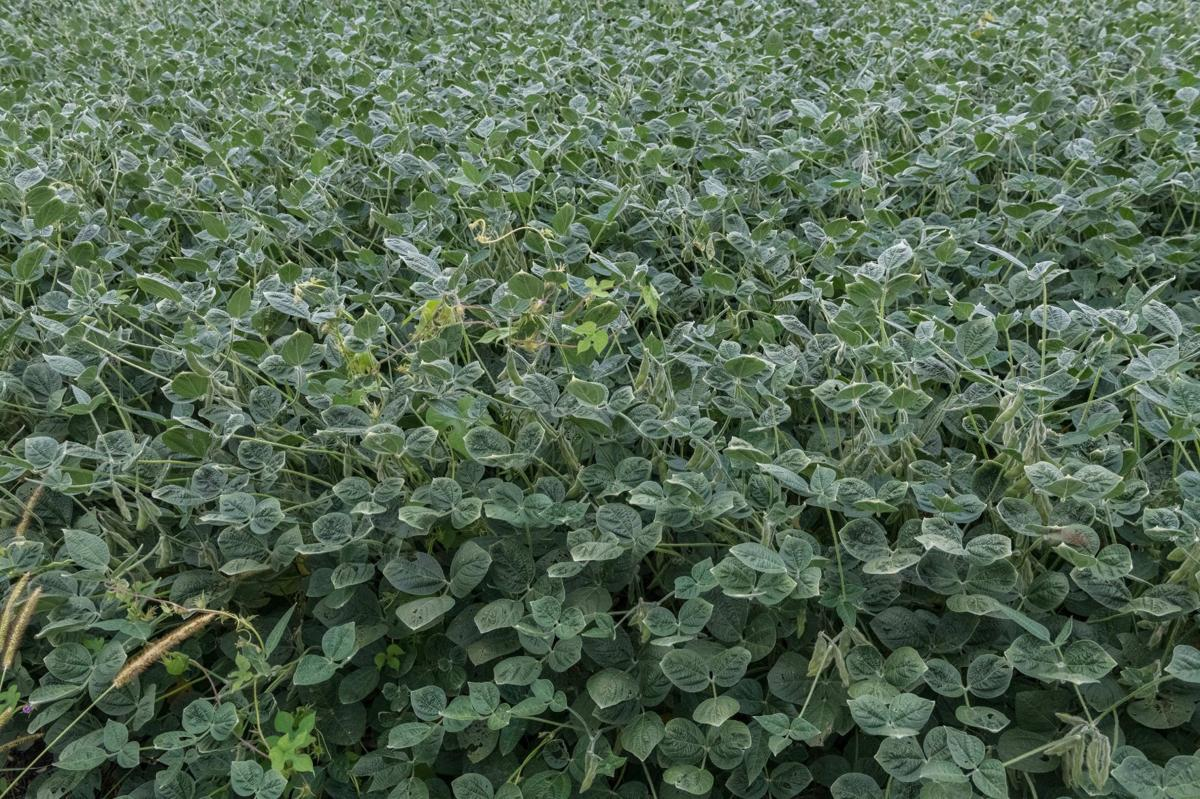 Dicamba Damage