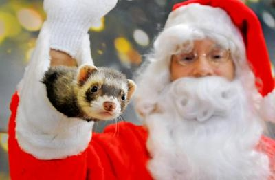 Christmas Ferret.Christmas Brings Holiday Tails To Santa Metro St Louis