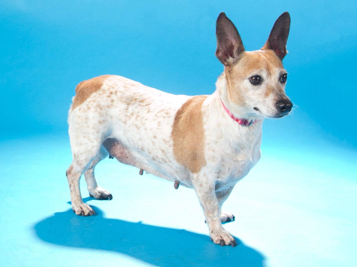 Pets of the week: A schnauzer-spaniel mix, a lab mix and a terrier ...