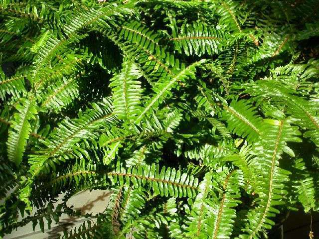 It\'s normal for Boston ferns to lose leaves in the winter | Home and ...