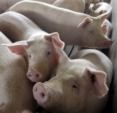 Large scale hog farms
