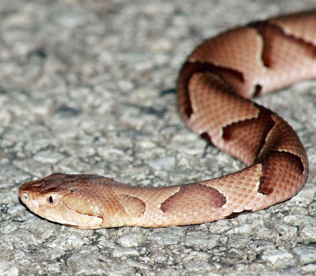 Fatal snakebites rare in Missouri, but precautions advised | Local ...