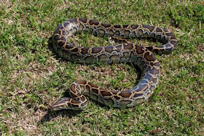 Barking dog alerts Oklahoma family to 14-foot python